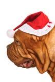 接近的狗头s圣诞老人 免版税库存图片