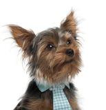 接近的狗附加佩带的约克夏 库存图片