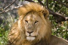 接近的狮子男性公园serengeti坦桑尼亚 库存图片