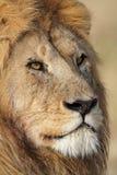 接近的狮子男性纵向serengeti坦桑尼亚 免版税库存图片