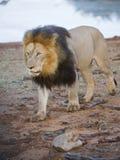 接近的狮子 图库摄影