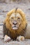 接近的狮子 库存照片