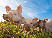 接近的猪一些  免版税图库摄影