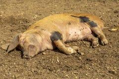 接近的猪 库存照片