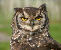 接近的猫头鹰 免版税库存图片