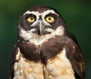 接近的猫头鹰perspicillata pulsatrix戴了眼镜  库存图片
