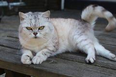 接近的猫-灰色英国的shorthair和白色上色了调查与嫉妒的照相机 免版税库存照片