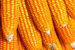 接近的玉米新鲜  图库摄影