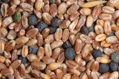 接近的玉米混合物种子 免版税库存图片