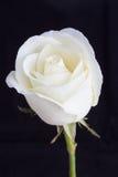接近的玫瑰色白色 库存照片
