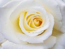 接近的玫瑰色白色 库存图片