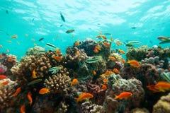 接近的珊瑚钓鱼  免版税库存图片