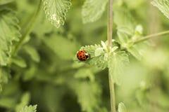 接近的瓢虫叶子 免版税库存照片