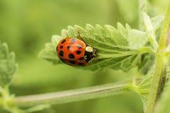 接近的瓢虫叶子 库存图片