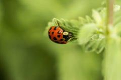 接近的瓢虫叶子 免版税库存图片