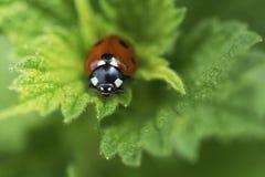 接近的瓢虫叶子 库存照片