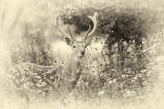 接近的白尾鹿 葡萄酒作用 免版税图库摄影