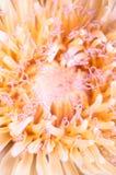 接近的白色的蒲公英花绿色自然照片 库存照片