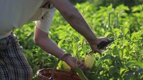 接近的看法农夫人照看他的庭院,走与一个柳条筐到胡椒灌木,已经看裁减 影视素材