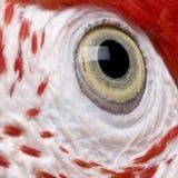 接近的眼睛绿色金刚鹦鹉红色 免版税库存图片
