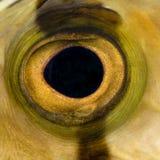 接近的眼睛鱼 免版税库存照片