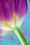 接近的紫色郁金香 库存照片