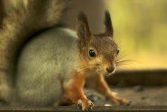 接近的红松鼠 免版税图库摄影