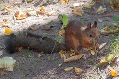 接近的红松鼠 免版税库存图片