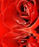 接近的红色玫瑰色射击 库存图片