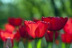 接近的红色郁金香 免版税库存照片