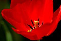 接近的红色郁金香 库存图片