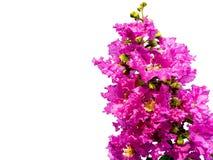 接近的绉绸桃金娘花 紫色花隔绝了白色背景 库存照片