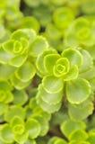 接近的绿色留下sedum spurium  免版税库存照片
