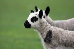 接近的羊羔孪生 免版税图库摄影
