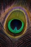 接近的羽毛孔雀 库存照片