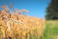 接近的耳朵成熟麦子 选择聚焦 图库摄影