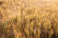 接近的耳朵成熟麦子 金黄领域的成熟的耳朵美好的背景  自然背景和被弄脏的bokeh 免版税库存照片