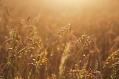 接近的耳朵成熟麦子 金黄领域的成熟的耳朵美好的背景  自然背景和被弄脏的bokeh 库存图片