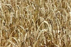 接近的耳朵成熟麦子 库存图片