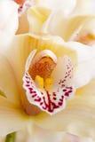 接近的花兰花有选择性  免版税库存图片