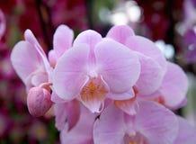接近的花兰花粉红色 免版税图库摄影
