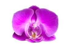 接近的花兰花粉红色 库存照片