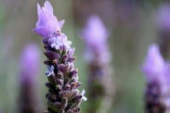 接近的花淡紫色 免版税库存照片
