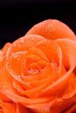 接近的花玫瑰色  库存图片