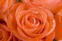 接近的花玫瑰色  图库摄影