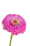 接近的花白色的查出的粉红色 库存图片