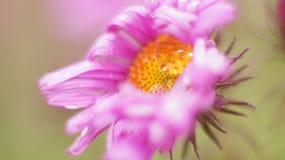 接近的花粉红色 图库摄影