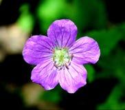 接近的花紫色 图库摄影