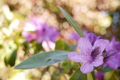 接近的花紫色 库存照片