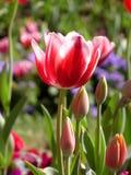 接近的花红色郁金香 库存照片